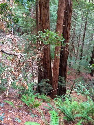 Redwoods along the Ben Johnson Trail