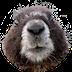 Tahoe Marmot