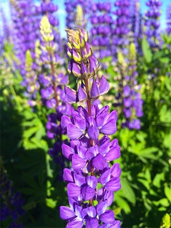 Beautiful Crest Lupin in full bloom