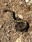 California Tiger Salamander out of his element - water is about one mile back. Right in the middle of the trail.